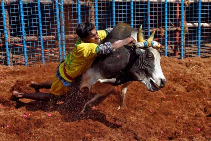 пытается контролировать быка