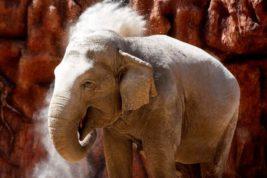 Азиатский слон «Тромпита»