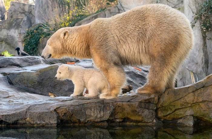 Детёныш белого медведя