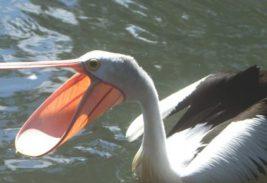 Пеликан украл улов