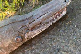 Таинственное похожее на рыбу крокодиловое существо