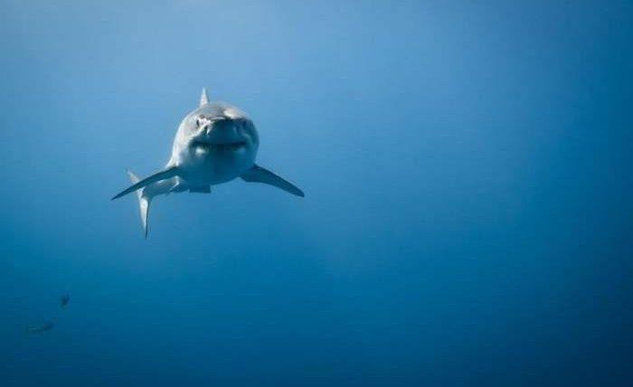 Таинственное скопление огромных акул