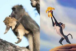 бабуин и лев