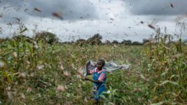 саранча в Африке