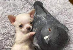 Странная дружба: щенок не умеющий ходить и голубь, не умеющий летать