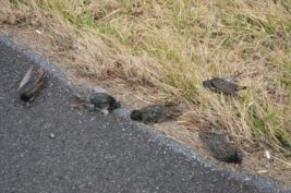 100 птиц упали замертво с неба в Пенсильвании