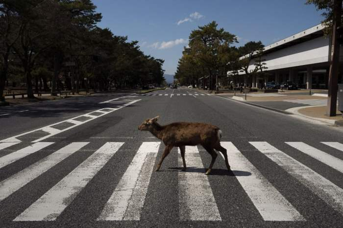 Олень на пешеходном переходе в Нара