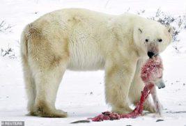 белые медведи каннибализм
