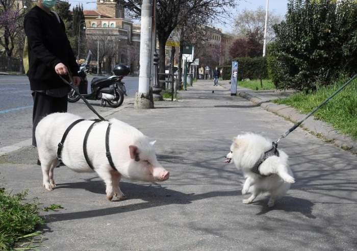 выгуливает свинью