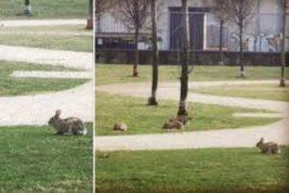 милан кролики