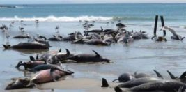 86 мертвых дельфинов