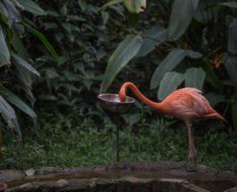 Американский фламинго