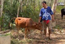 Корова выжила