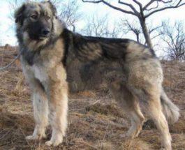 Румынская овчарка,Бранденбург,собака,напала собака