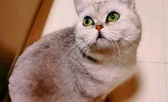 Уханский кот