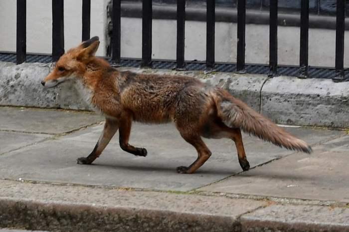 в Лондоне видна лиса