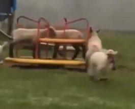 овцы карусель