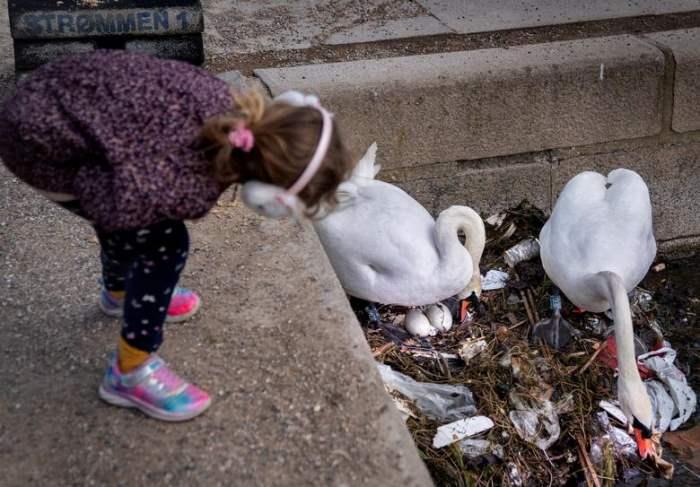 пара лебедей строит гнездо из отходов