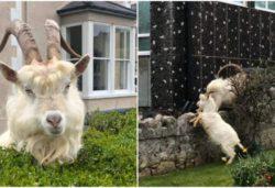 Апокалипсис: стада коз атаковали карантинный город