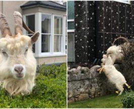 стада коз