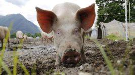 В США душат свиней газом