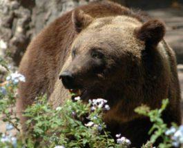 Медведь вырыл свежую могилу в Тынде