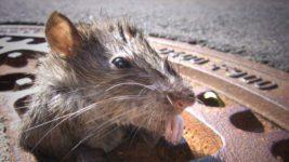 США,крысы