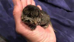 Американская семья оплакивает потерю редкого котенка, рожденного с двумя мордами