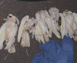 мертвые попугаи Австралия