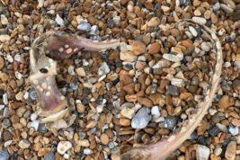 морская лисица