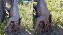 Румыния: «Похожий на гиену зверь» убит после нападения на пастуха