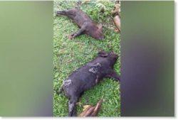 Молния убила 3 свиней на Филиппинах