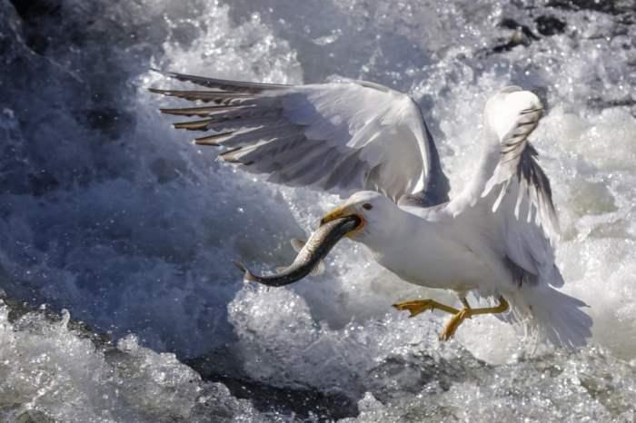 Чайка охотится на жемчужных кефалей