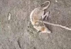 В Башкирии поймали существо, похожее на чупакабру