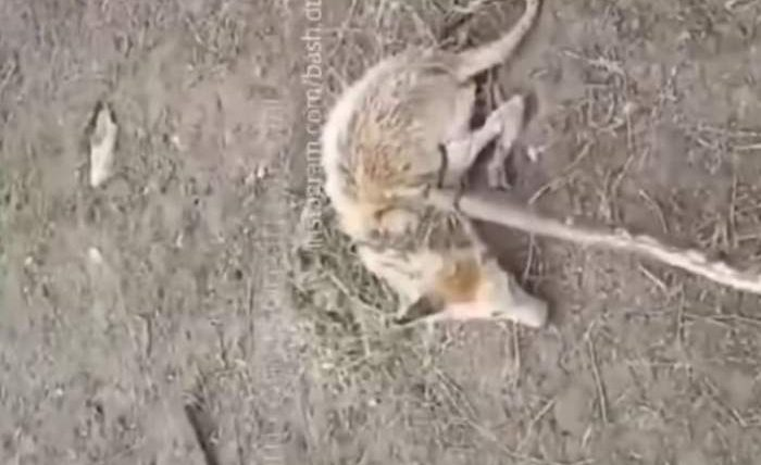 башкирия чупакабра