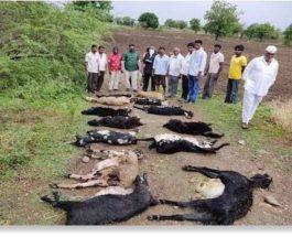 индия овцы
