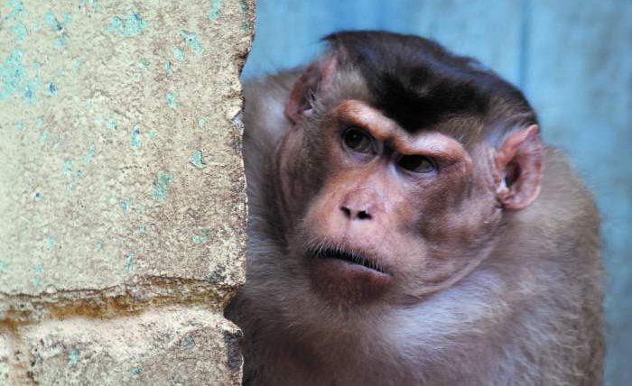 обезьяна пьяница