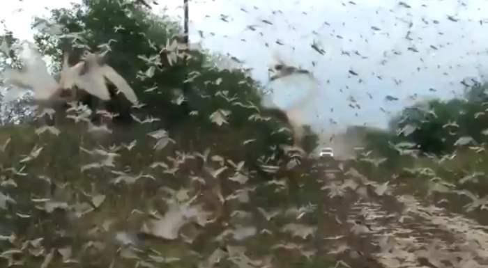 саранча аргентина
