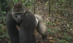 Редкие гориллы в Нигерии запечатлены на камеру с младенцами