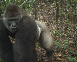 Редкие гориллы в Нигерии