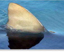 акула тасмания