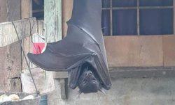 Бэтмен? Огромную летучую мышь засняли на Филиппинах