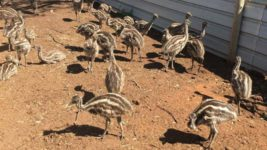 Австралия,птичий грипп,