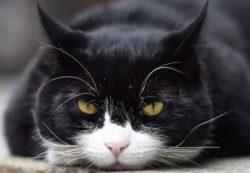 Главный кот британской дипломатии «уходит в отставку по собственному желанию»