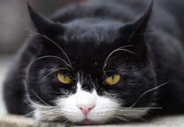 Кот,Пальмерстон,Великобритания,