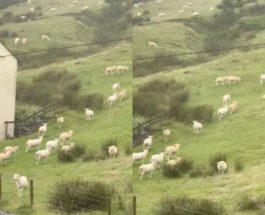 Овцы,Англия,