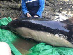 Волонтеры спасли выброшенного на мель дельфина после 5-часовой операции (ФОТО)