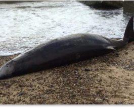 клюворылый кит