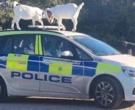 козы полицейская машина