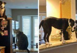 Питбуль считает себя кошкой и отказывается верить, что он собака